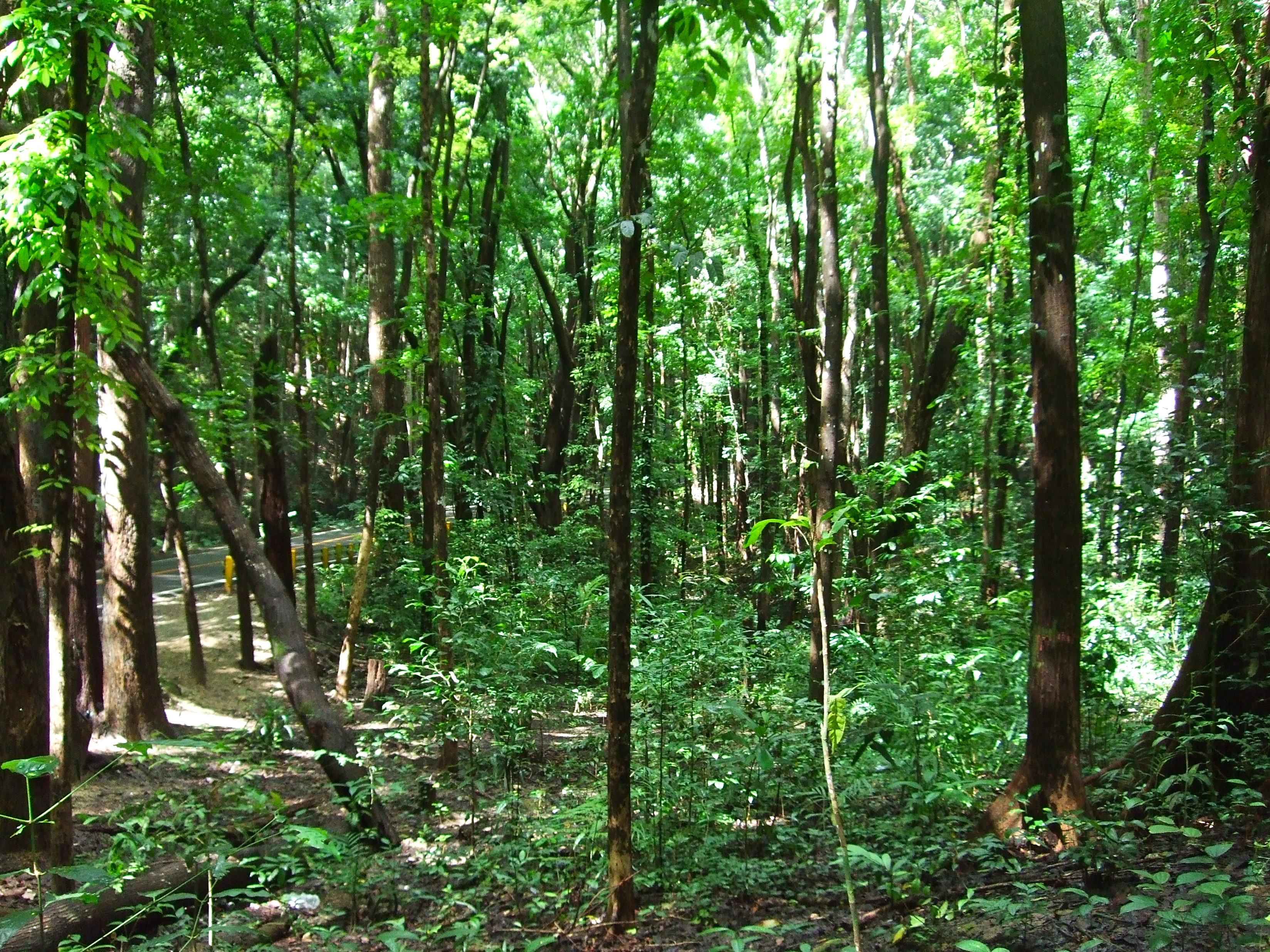 Manmade Forest Bohol