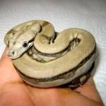 Prony, die weltgrößte Schlange -reloaded-