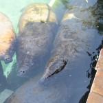 Flipper- vs. Seekuhschwimmen