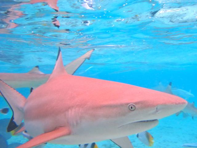 Riffhaie tummeln sich überall in der flachen Lagune auf Bora Bora.