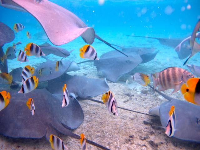 Auf einer Schnorcheltour auf Bora Bora sieht man bereist eine Menge von der Unterwasserwelt.